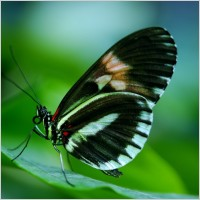 papilio_rumanzovia_butterfly_217608